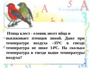 Птица клест - еловик несет яйца и высиживает птенцов зимой. Даже при темпера