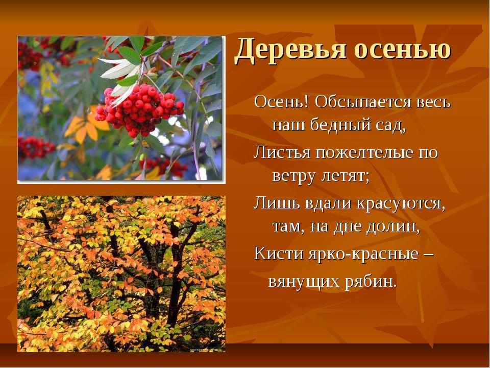 Деревья осенью Осень! Обсыпается весь наш бедный сад, Листья пожелтелые по в...
