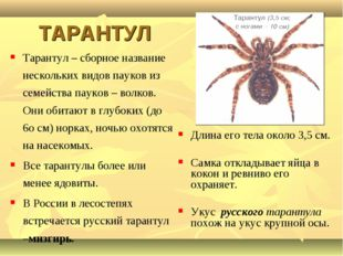 ТАРАНТУЛ Тарантул – сборное название нескольких видов пауков из семейства па