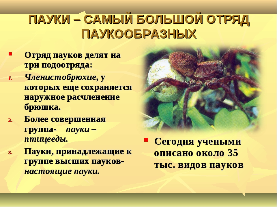 ПАУКИ – САМЫЙ БОЛЬШОЙ ОТРЯД ПАУКООБРАЗНЫХ Отряд пауков делят на три подоотряд...
