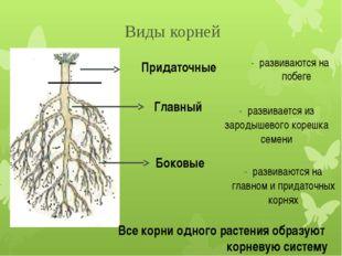 Главный - развивается из зародышевого корешка семени Боковые - развиваются на