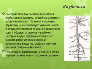 Клубеньки На корнях бобовых растений поселяются клубеньковые бактерии, способ