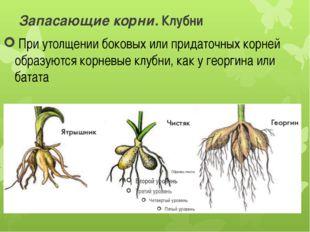 Запасающие корни. Клубни При утолщении боковых или придаточных корней образу