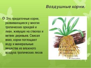 Воздушные корни. Это придаточные корни, развивающиеся у многих тропических о