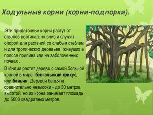 Ходульные корни (корни-подпорки). Эти придаточные корни растут от стволов ве
