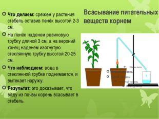 Всасывание питательных веществ корнем Что делаем:срежем у растения стебель о