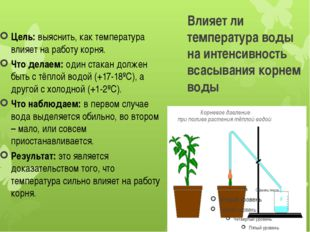 Влияет ли температура воды на интенсивность всасывания корнем воды Цель:выяс