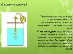 Дыхание корней На поверхность воды во втором сосуде нальём тонкий слой растит