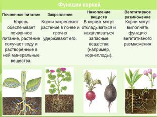 Функции корней Почвенное питание Закрепление Накопление веществ Вегетативное