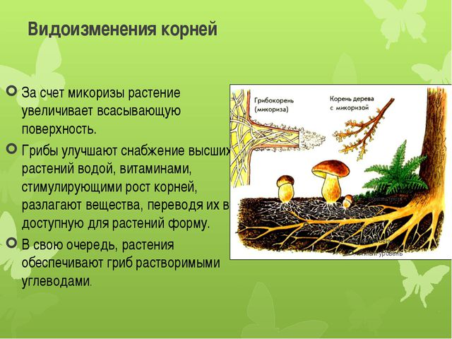 Видоизменения корней За счет микоризы растение увеличивает всасывающую поверх...