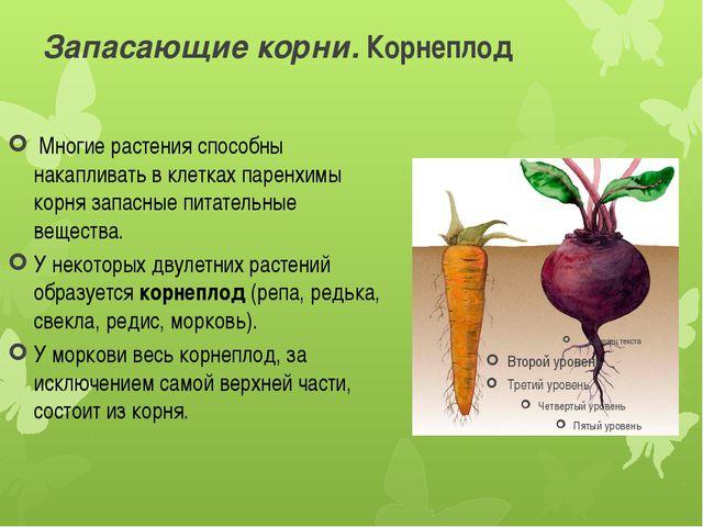 Запасающие корни. Корнеплод Многие растения способны накапливать в клетках п...
