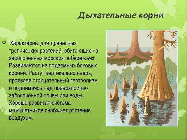 Дыхательные корни Характерны для древесных тропических растений, обитающих н...