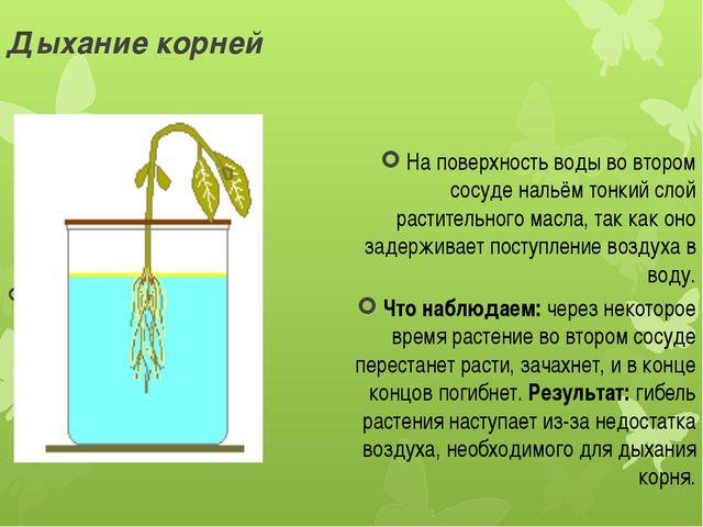Дыхание корней На поверхность воды во втором сосуде нальём тонкий слой растит...