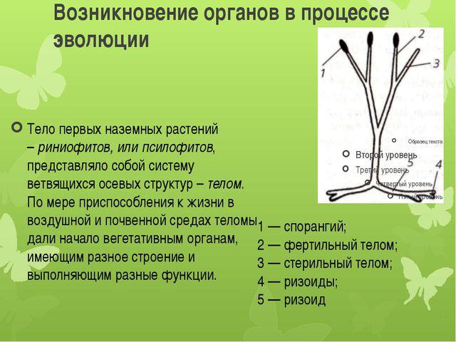 Возникновение органов в процессе эволюции Тело первых наземных растений –рин...