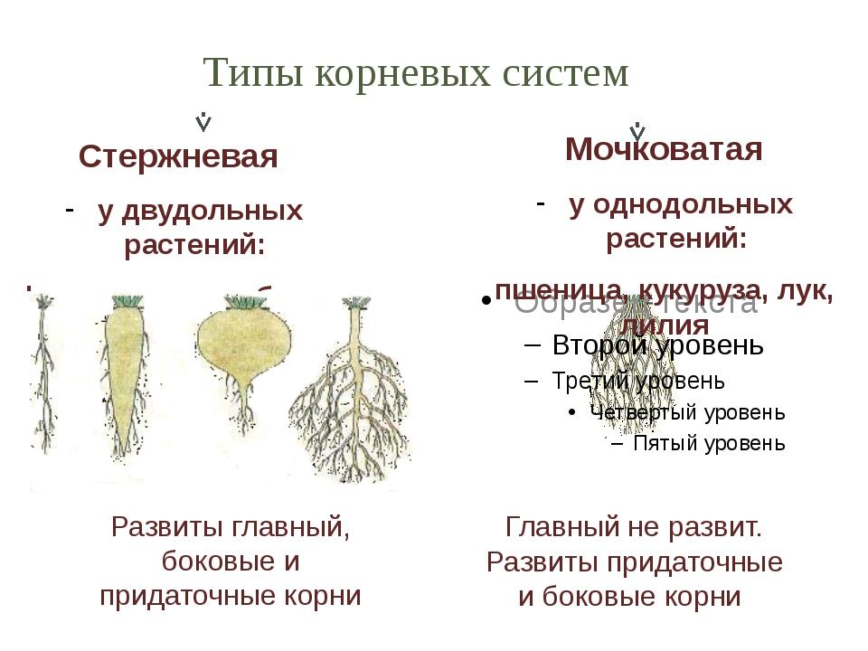 Стержневая у двудольных растений: фасоль, горох, яблоня, дуб. Мочковатая у од...