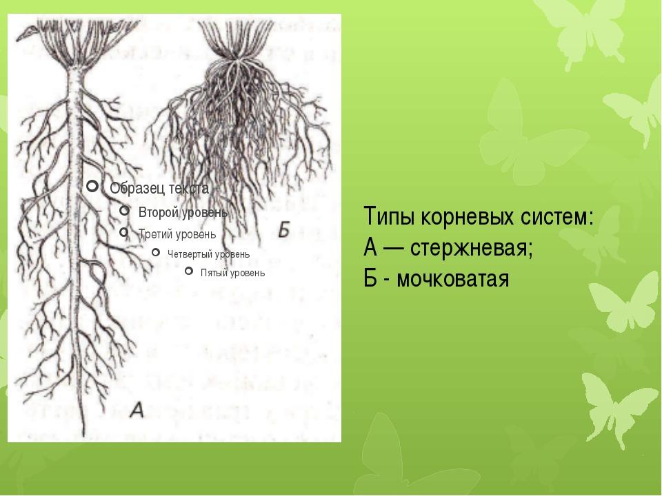 Типы корневых систем: А — стержневая; Б - мочковатая