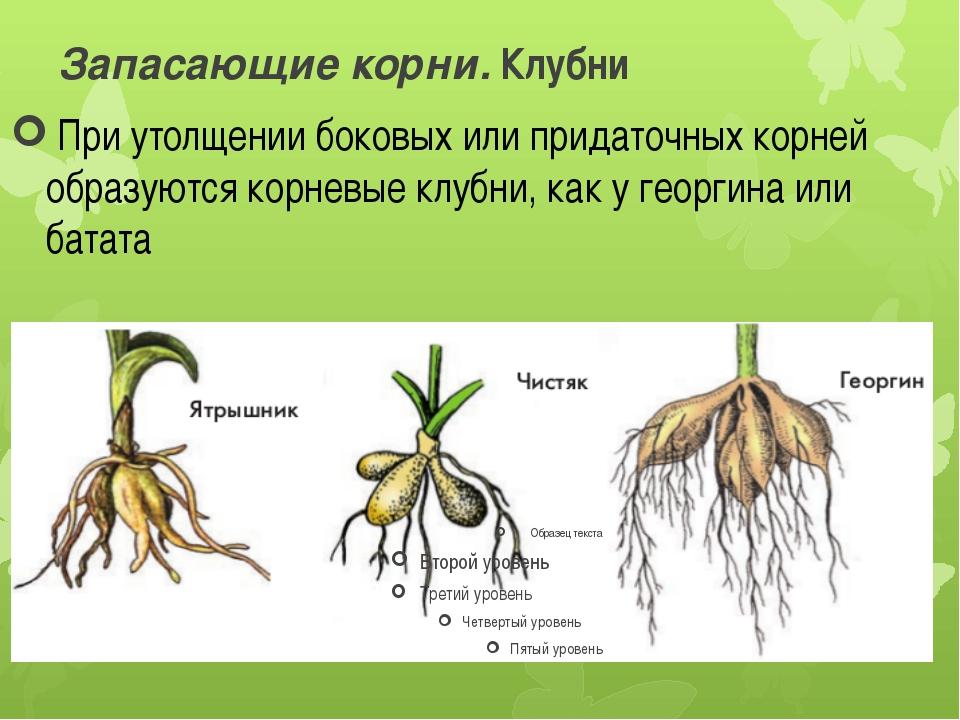 Запасающие корни. Клубни При утолщении боковых или придаточных корней образу...