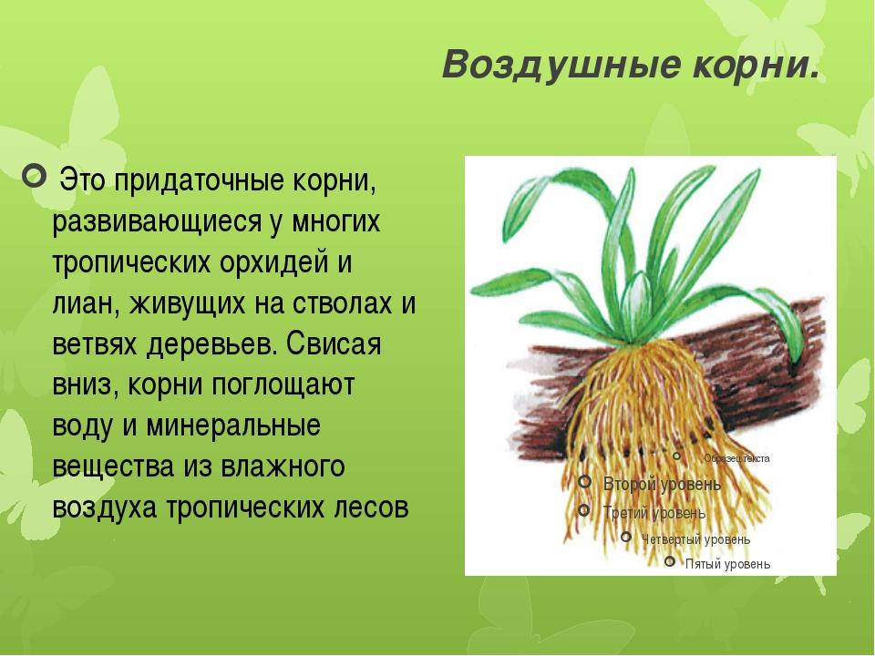 Воздушные корни. Это придаточные корни, развивающиеся у многих тропических о...