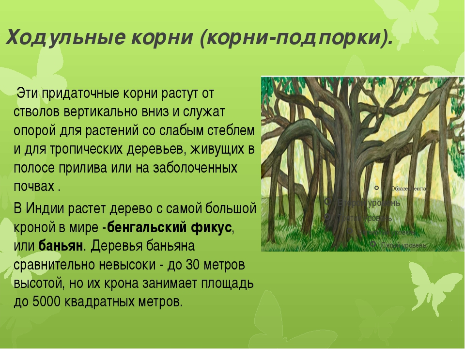 Ходульные корни (корни-подпорки). Эти придаточные корни растут от стволов ве...