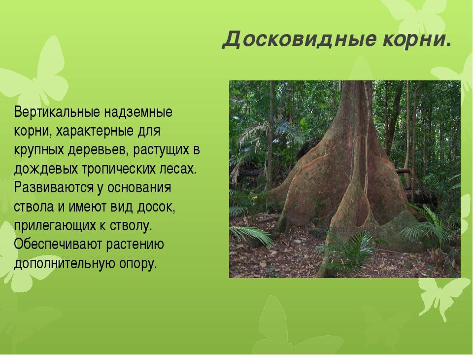 Досковидные корни. Вертикальные надземные корни, характерные для крупных дере...