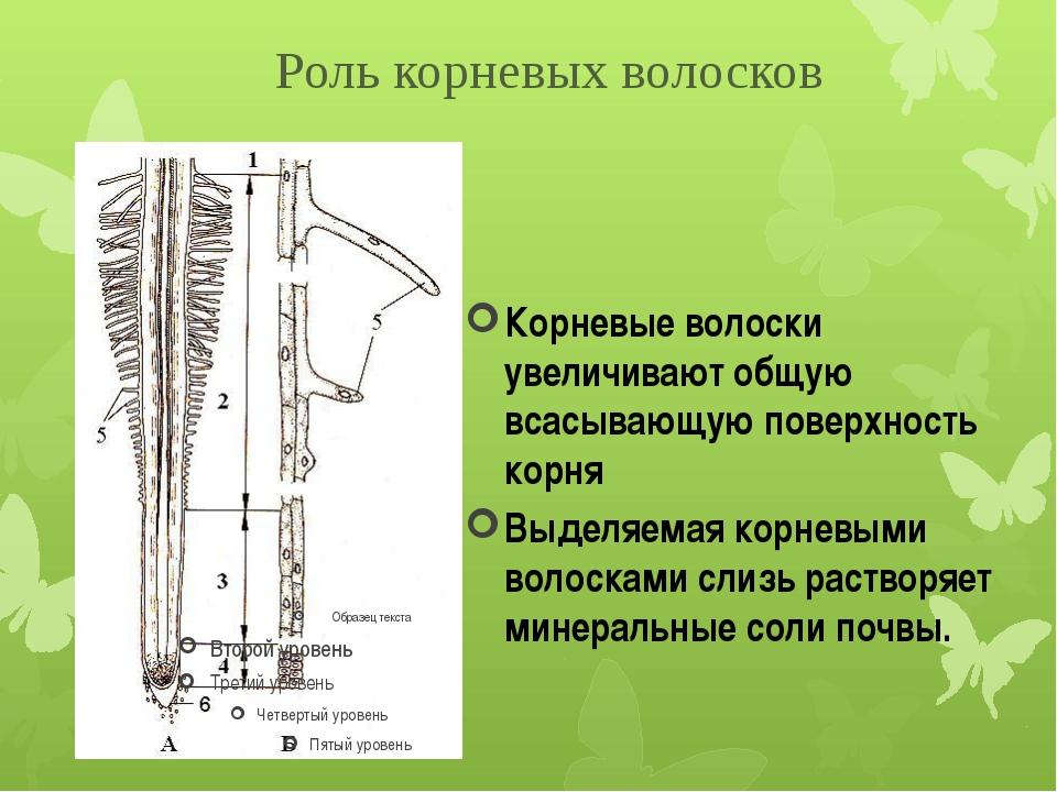 Корневые волоски увеличивают общую всасывающую поверхность корня Выделяемая к...