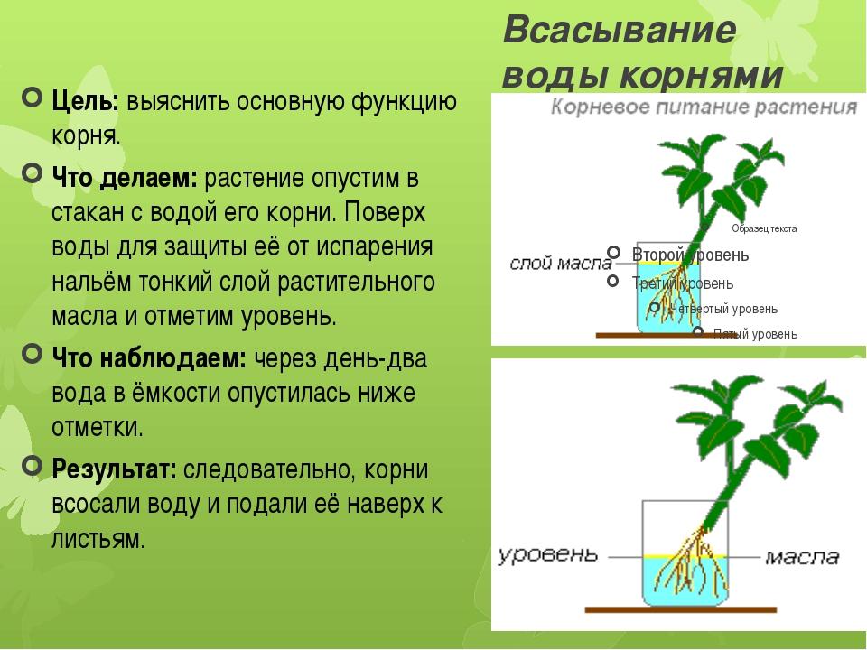 Всасывание воды корнями Цель:выяснить основную функцию корня. Что делаем:ра...