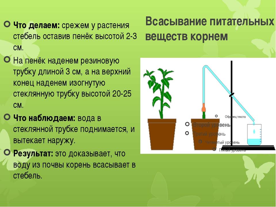 Всасывание питательных веществ корнем Что делаем:срежем у растения стебель о...