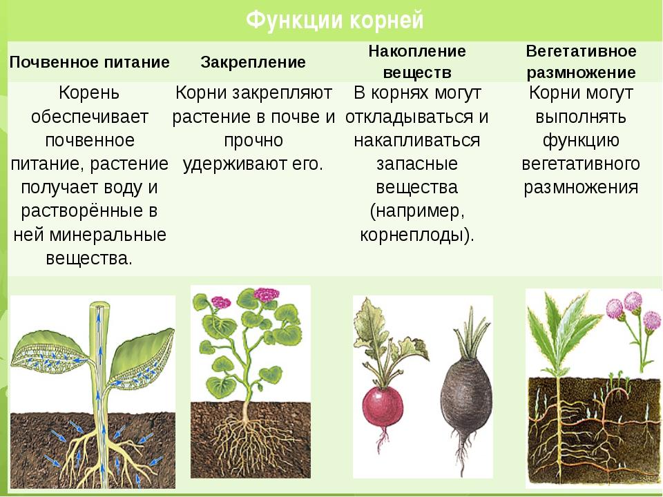 Функции корней Почвенное питание Закрепление Накопление веществ Вегетативное...