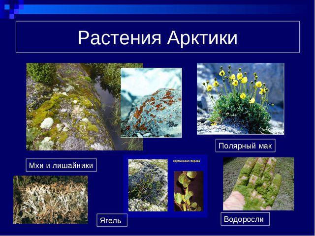 Растения Арктики Мхи и лишайники Полярный мак Ягель Водоросли