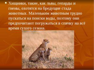 Хищники, такие, как львы, гепарды и гиены, охотятся на бредущие стада животны