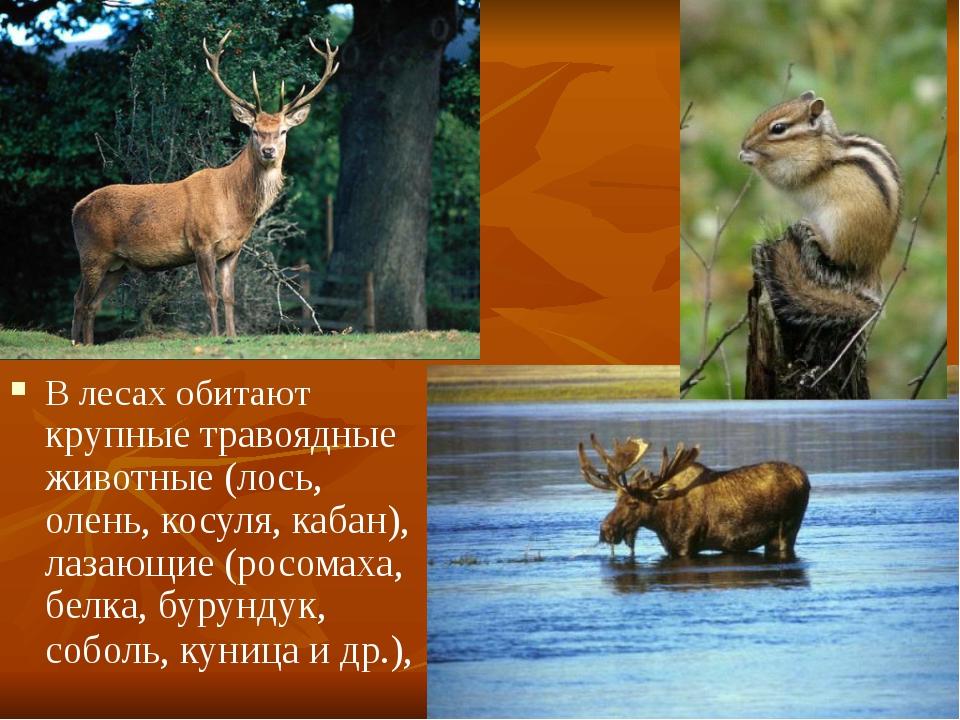 В лесах обитают крупные травоядные животные (лось, олень, косуля, кабан), лаз...