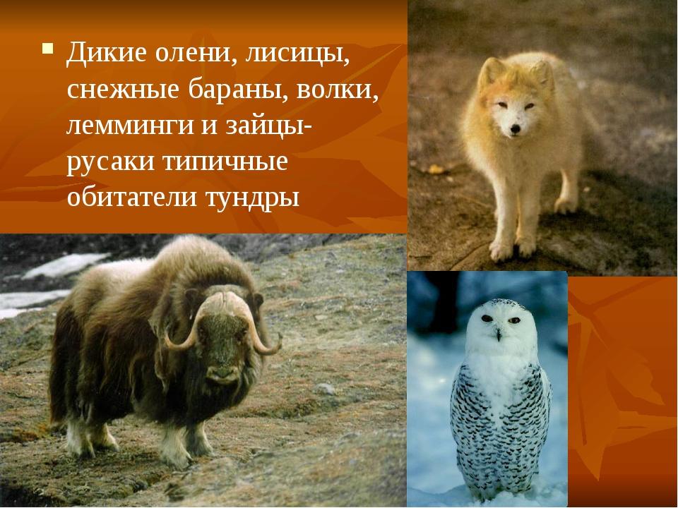 Дикие олени, лисицы, снежные бараны, волки, лемминги и зайцы-русаки типичные...