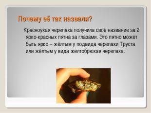 Почему её так назвали? Красноухая черепаха получила своё название за 2 ярко-