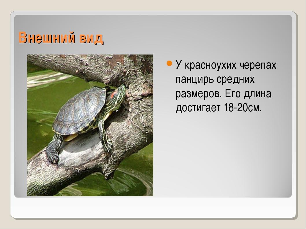 Внешний вид У красноухих черепах панцирь средних размеров. Его длина достигае...