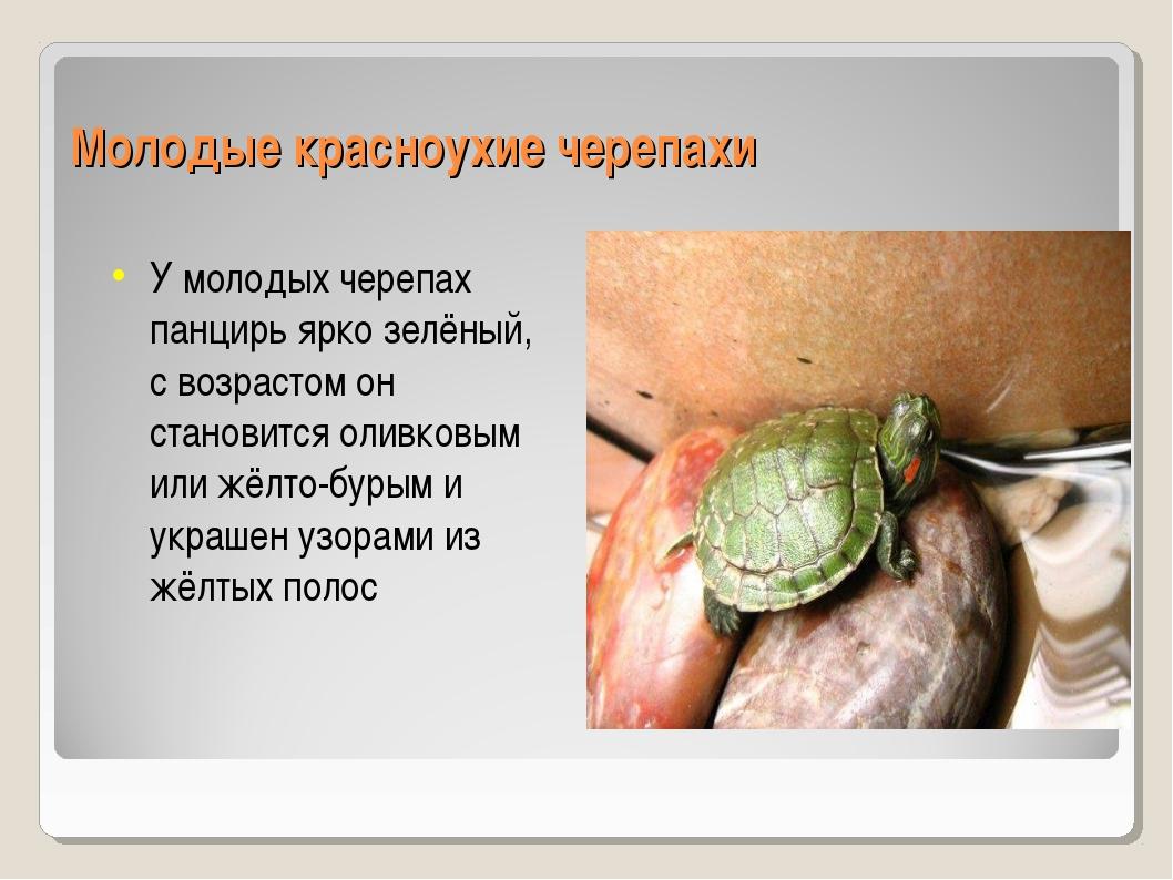 Молодые красноухие черепахи У молодых черепах панцирь ярко зелёный, с возраст...
