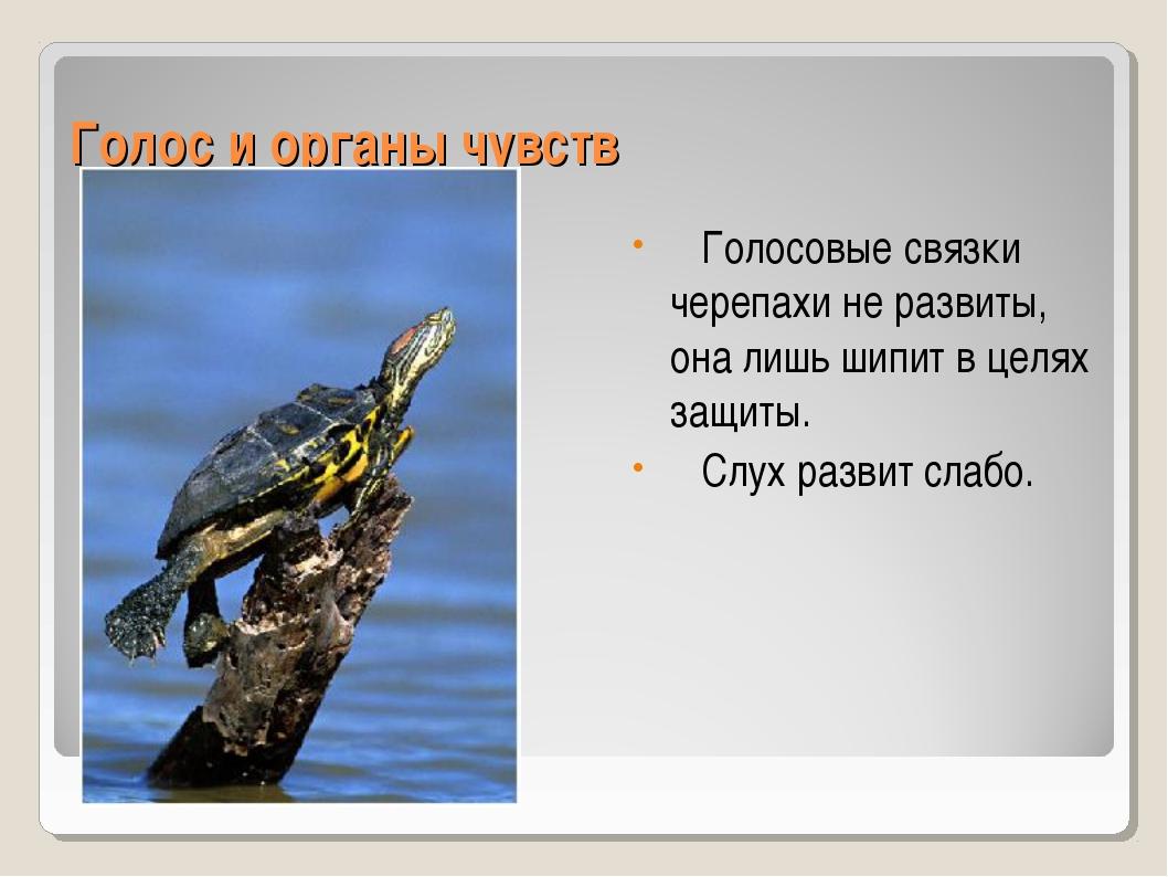 Голос и органы чувств Голосовые связки черепахи не развиты, она лишь шипит в...