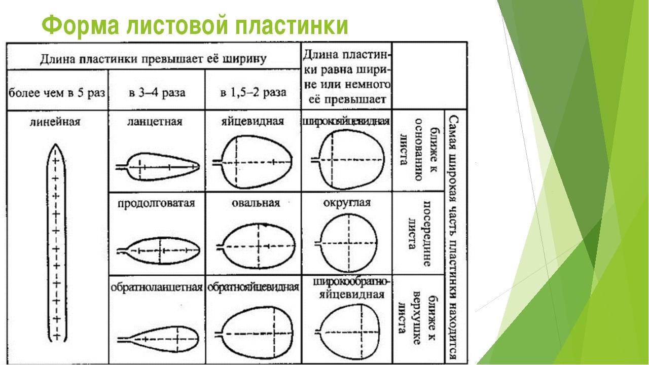 Форма листовой пластинки