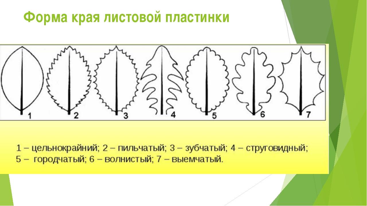 Форма края листовой пластинки