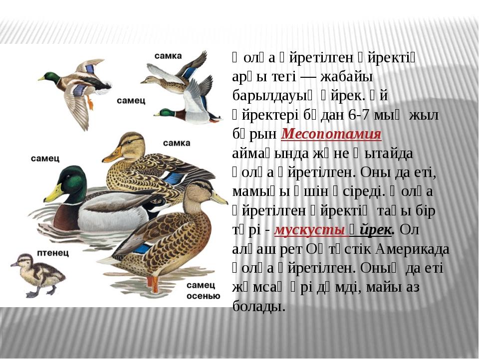 Қолға үйретілген үйректің арғы тегі — жабайы барылдауық үйрек. Үй үйректері б...