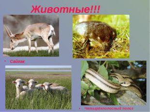 Животные!!! Четырёхполосный полоз Сайгак