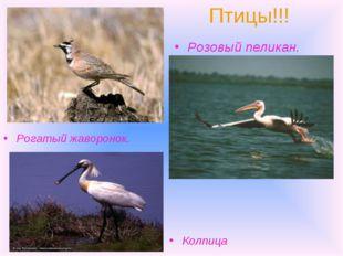 Птицы!!! Рогатый жаворонок. Розовый пеликан. Колпица