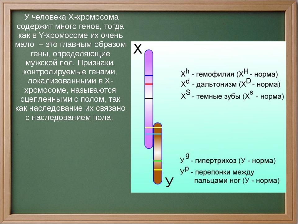 У человека Х-хромосома содержит много генов, тогда как в Y-хромосоме их очен...