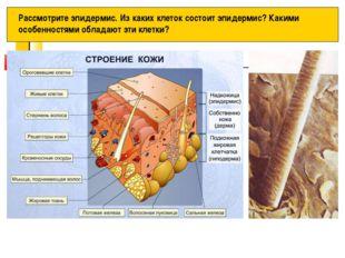 Рассмотрите эпидермис. Из каких клеток состоит эпидермис? Какими особенностям