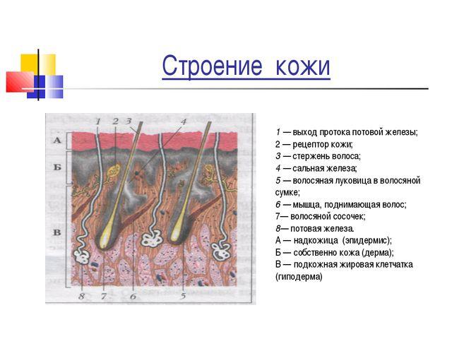 Строение кожи 1 — выход протока потовой железы; 2 — рецептор кожи; 3 — стерже...