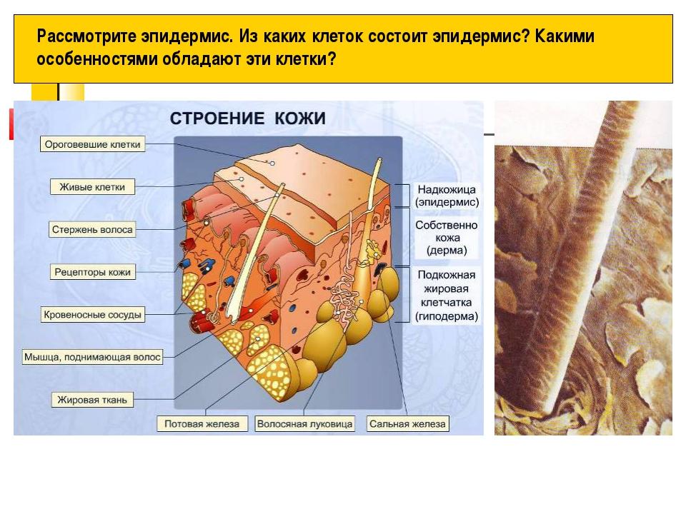 Рассмотрите эпидермис. Из каких клеток состоит эпидермис? Какими особенностям...