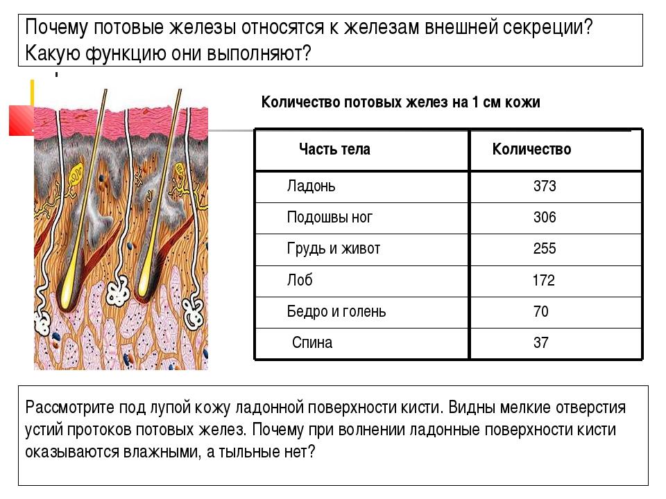 Почему потовые железы относятся к железам внешней секреции? Какую функцию они...
