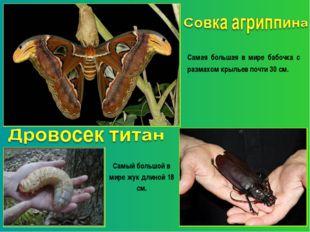 Самая большая в мире бабочка с размахом крыльев почти 30 см. Самый большой в