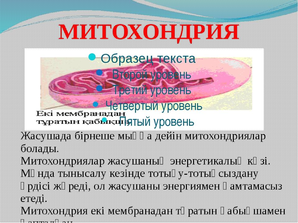 МИТОХОНДРИЯ Жасушада бірнеше мыңға дейін митохондриялар болады. Митохондрияла...