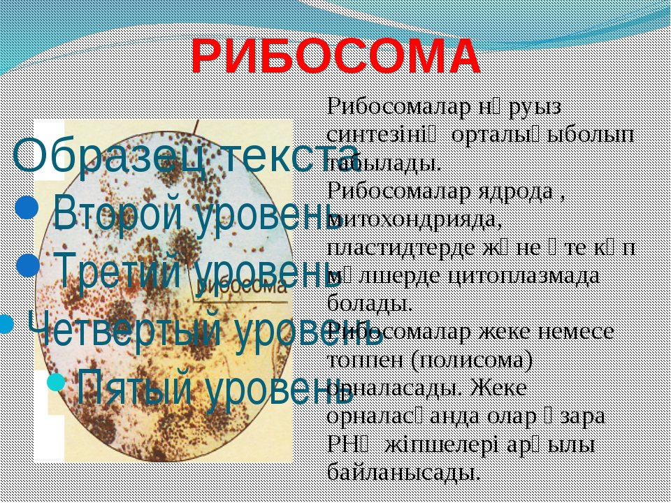 РИБОСОМА Рибосомалар нәруыз синтезінің орталығыболып табылады. Рибосомалар яд...