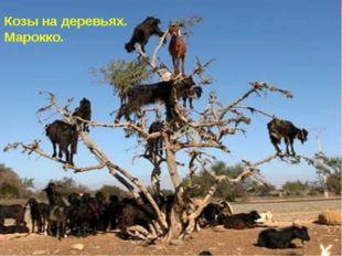 Козы на деревьях. Марокко.